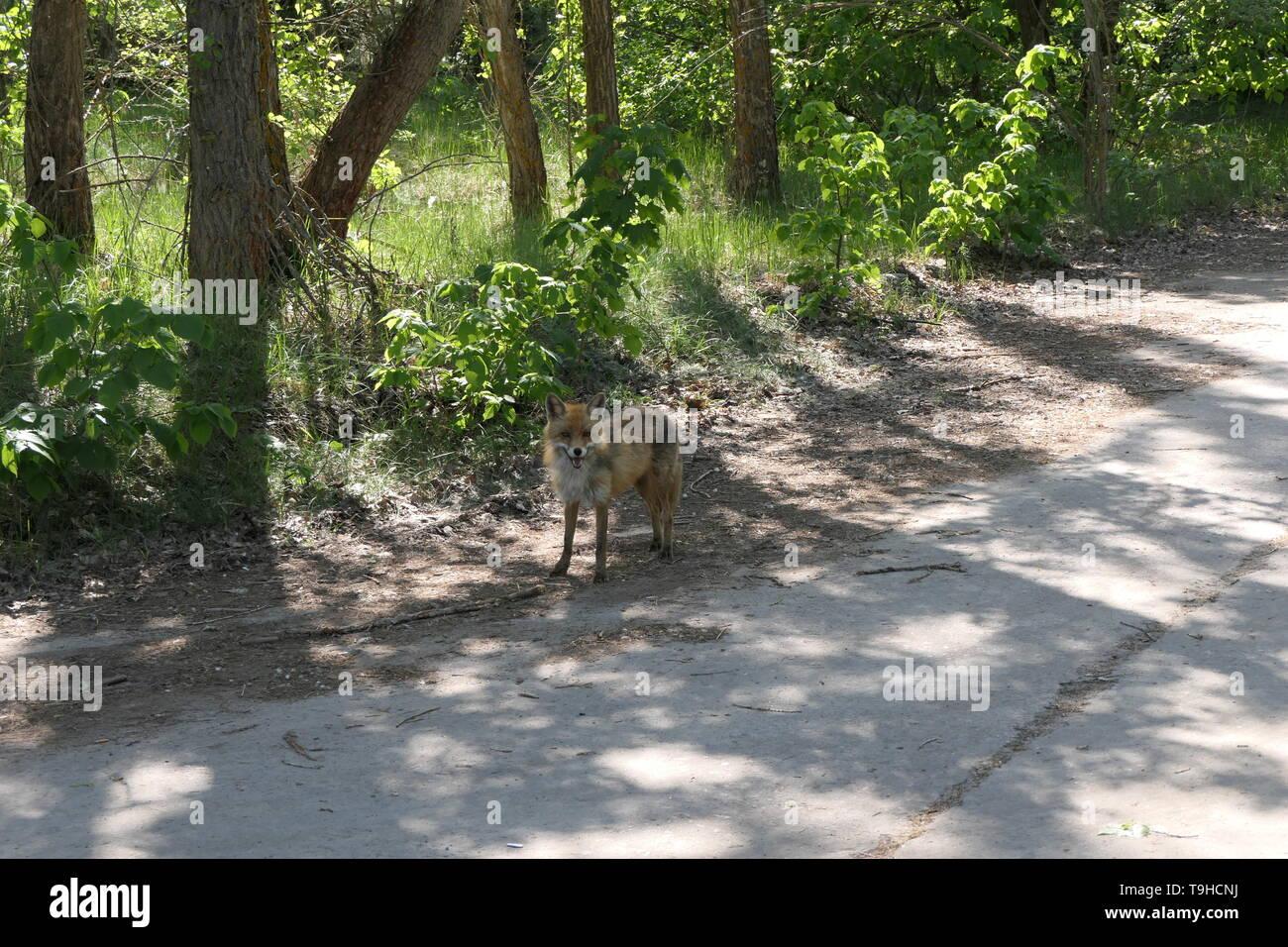 Wild fox in the Chernobyl exclusion zone, Ukraine - Stock Image