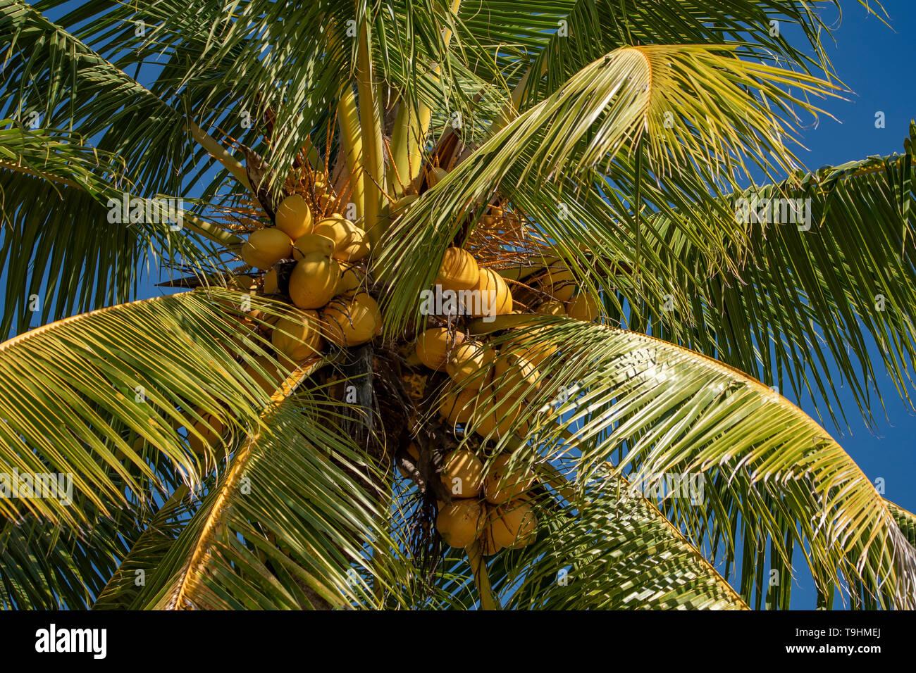 Cocos nucifera, Coconut Palm on Dunk Island - Stock Image