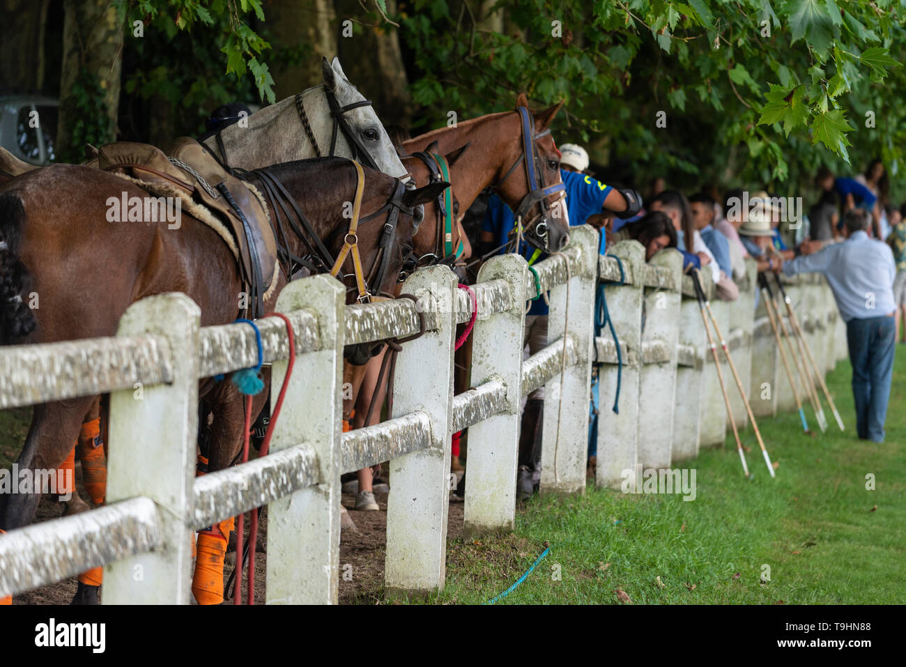 polo horses waiting for the game - Stock Image