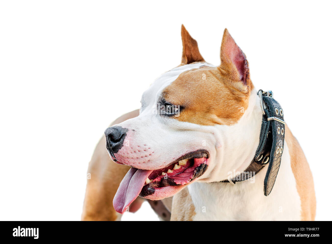 American Staffordshire terrier closeup portrait on white background isolate Stock Photo
