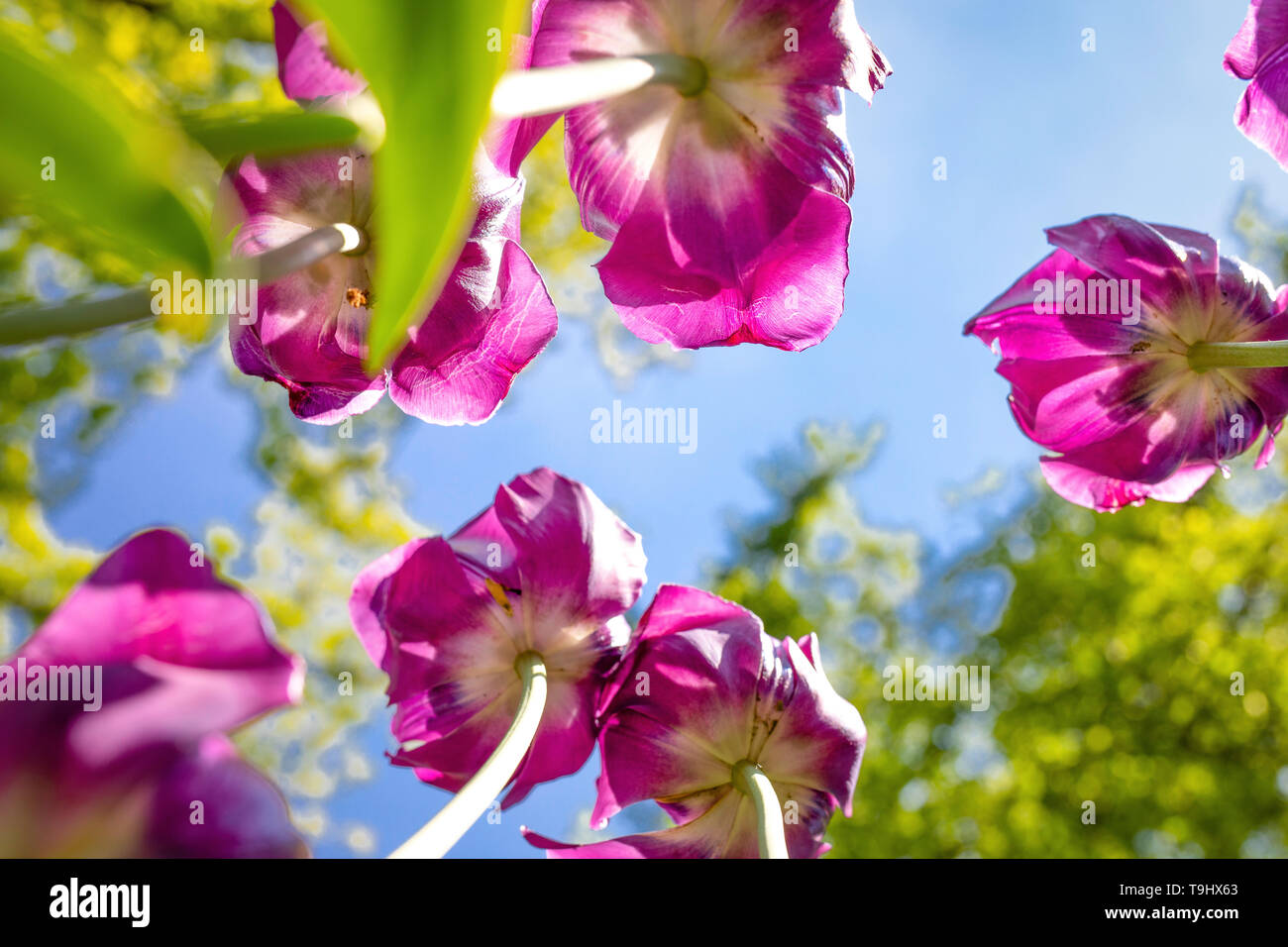 Purple tulips as seen from below, from underneath. - Stock Image