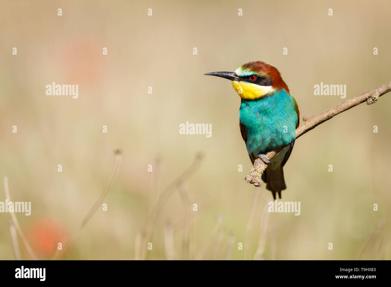 European Bee-eater (Merops apiaster), adult perched on branch, Lleida Steppes, Catalonia, Spain Stock Photo