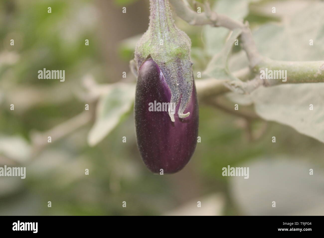 purple - Stock Image