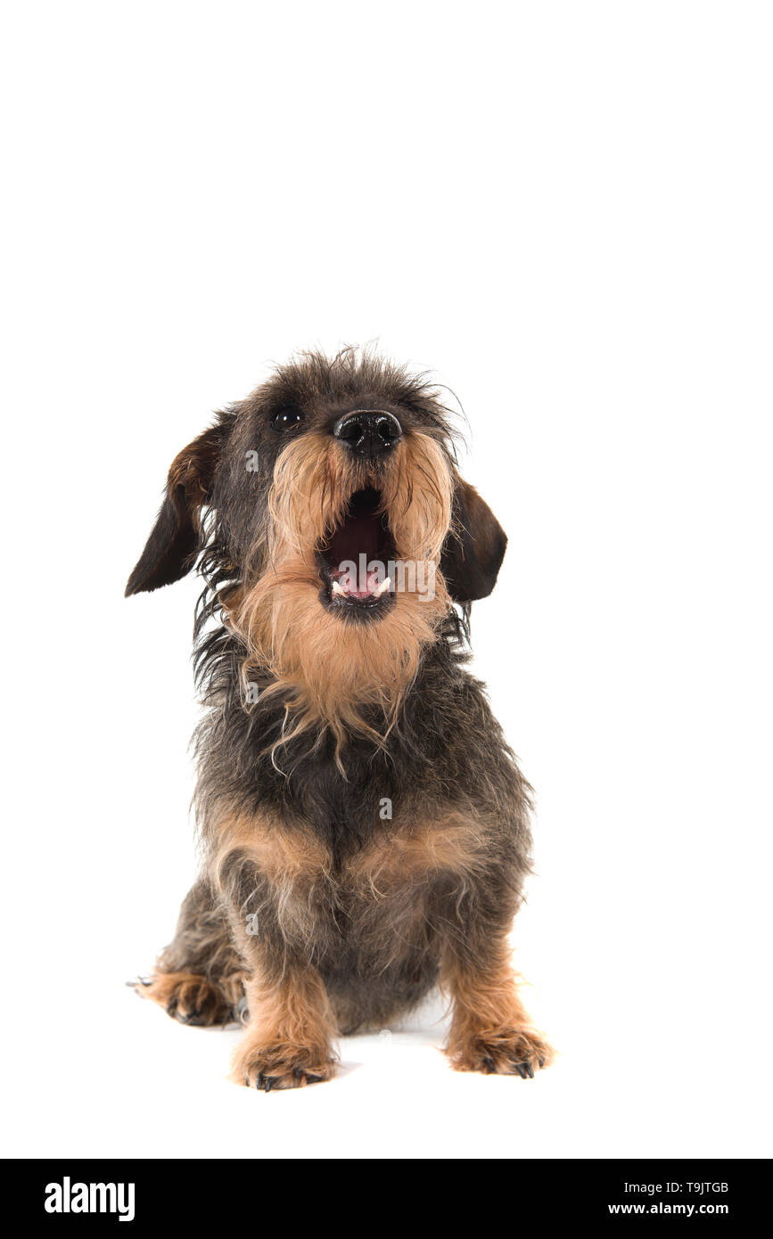 Sitting wirehaired Dachshund looking up with mouth open isolated on white background - Stock Image