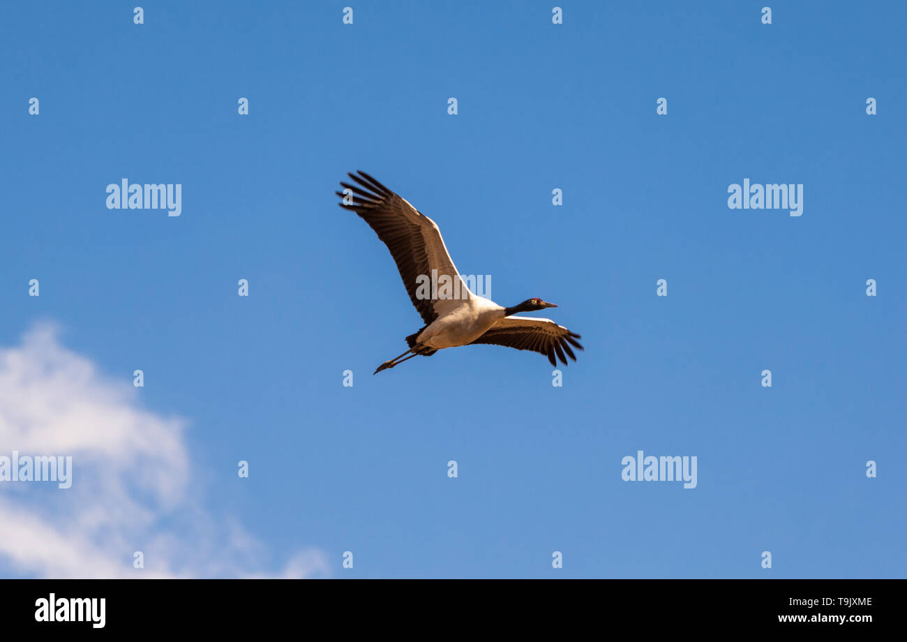 Black-necked crane spreading its wings in flight - Stock Image