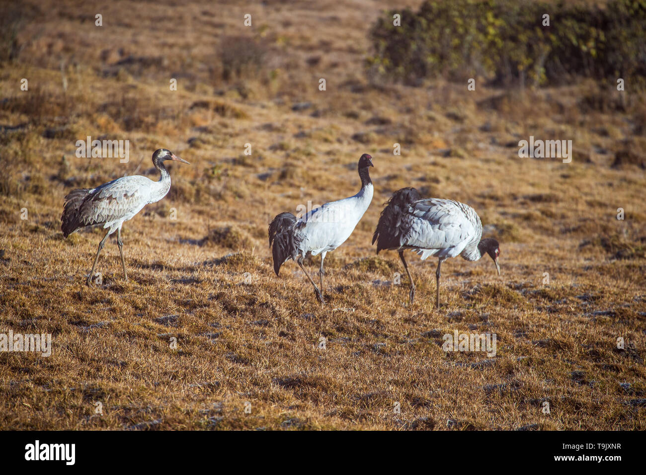 Group of black-necked crane in Phobjikha valley during winter time - Stock Image