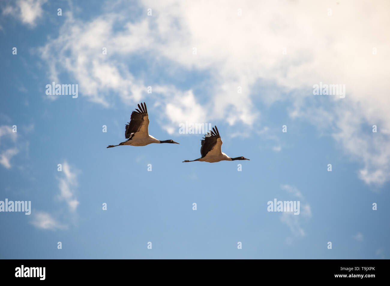 Two black-necked cranes spreading their wings in flight - Stock Image