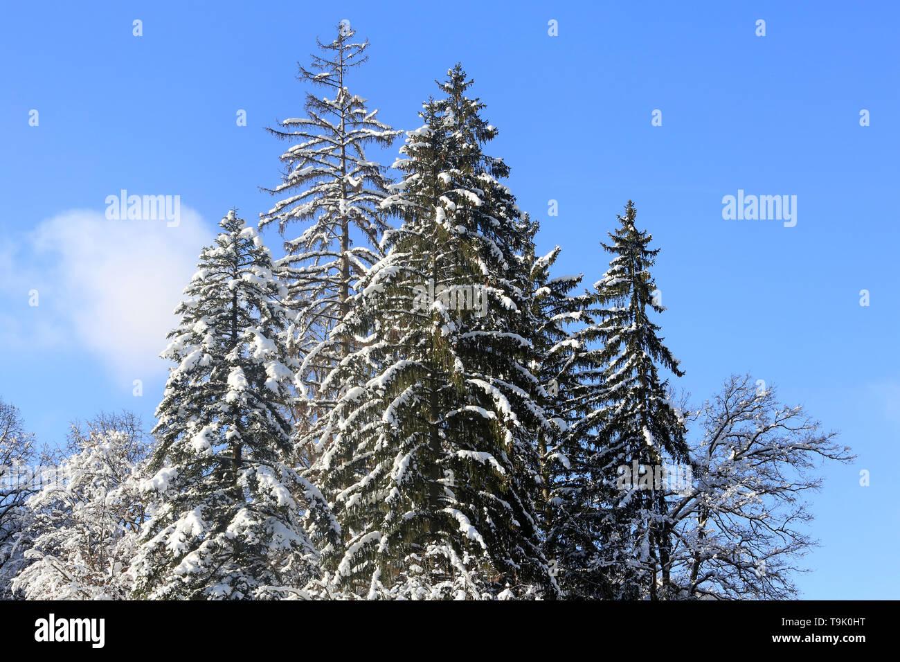 Sapins Enneigés Haute Savoie France Stock Photo 246894644