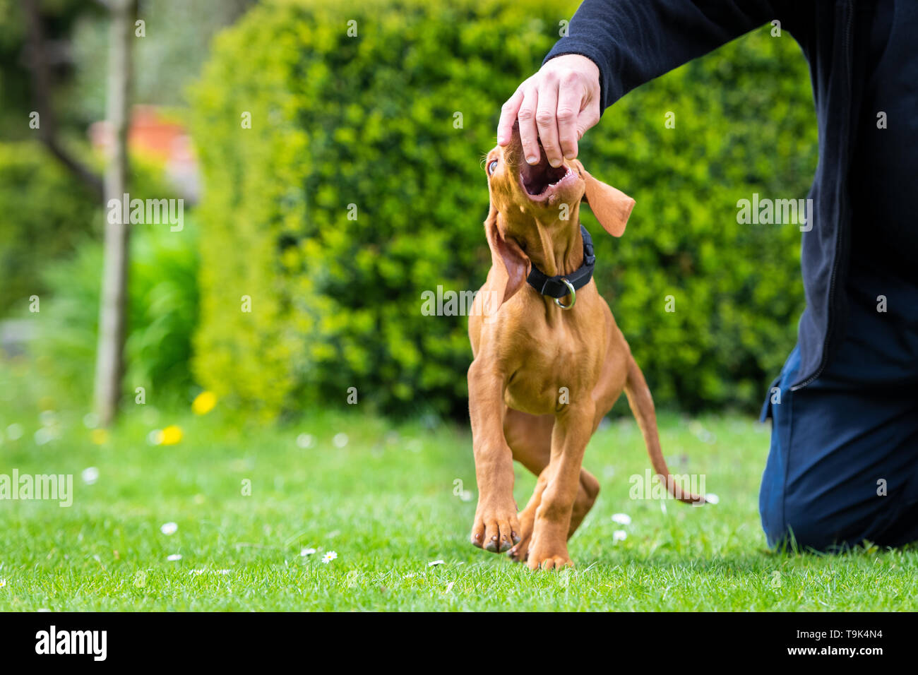 2 months old cute hungarian vizsla dog puppy biting owners fingers while playing outdoors in the garden. Obedience training. - Stock Image