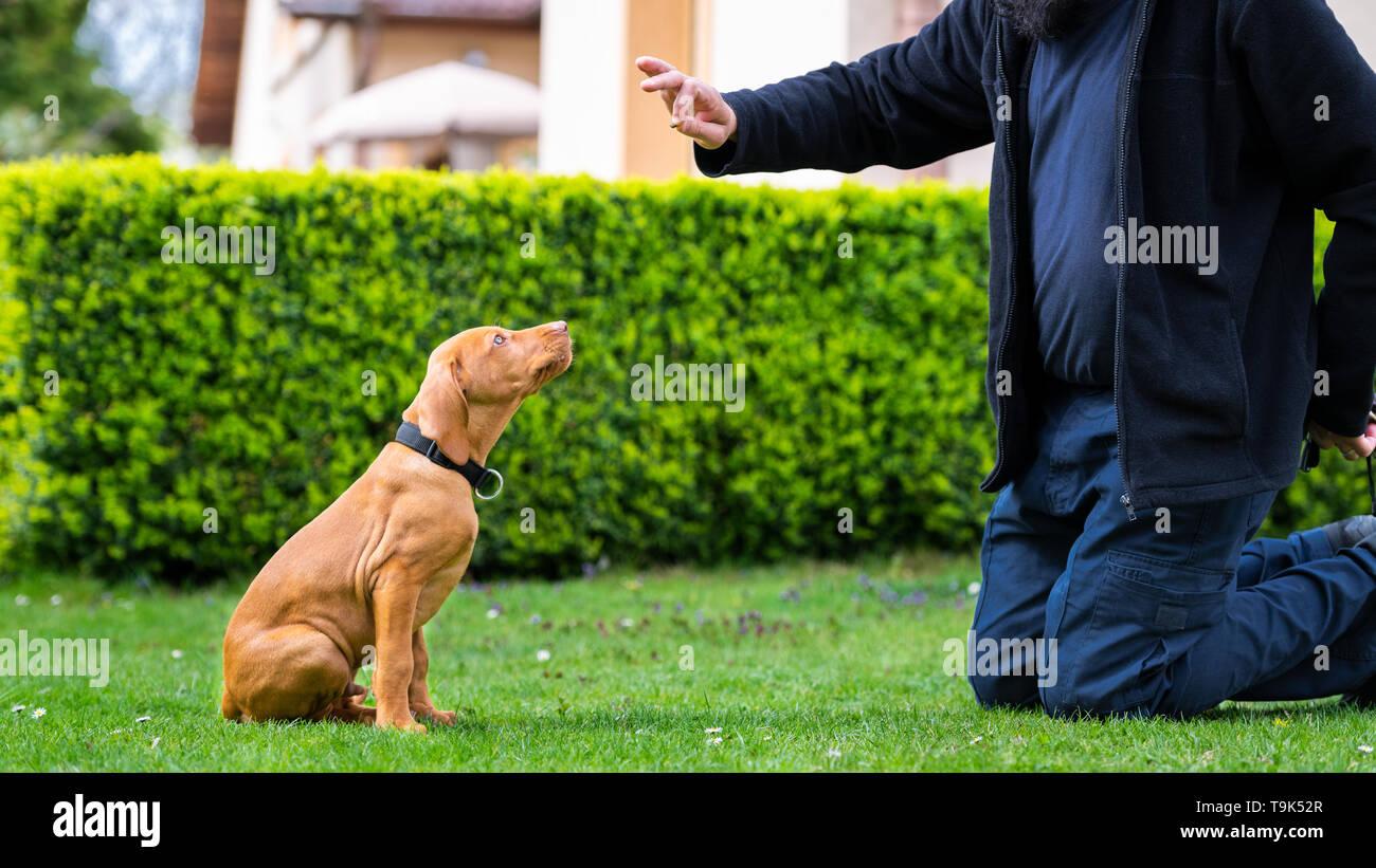 Obedience training. Man training his vizsla puppy the Sit Command using treats. - Stock Image