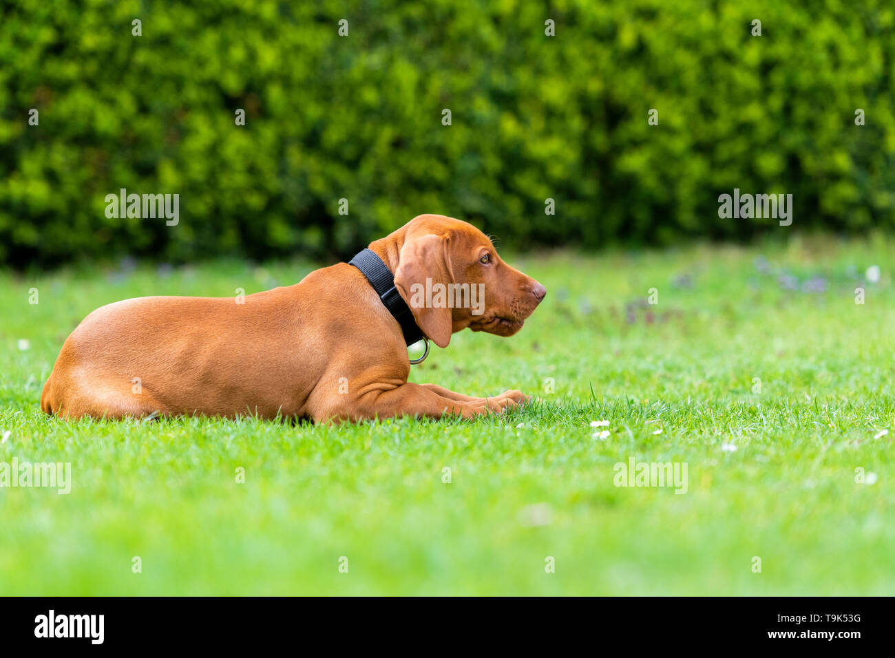 Obedience training. Vizsla puppy learning the Lie down Command. Cute Hungarian Vizsla puppy laying down on lawn. - Stock Image