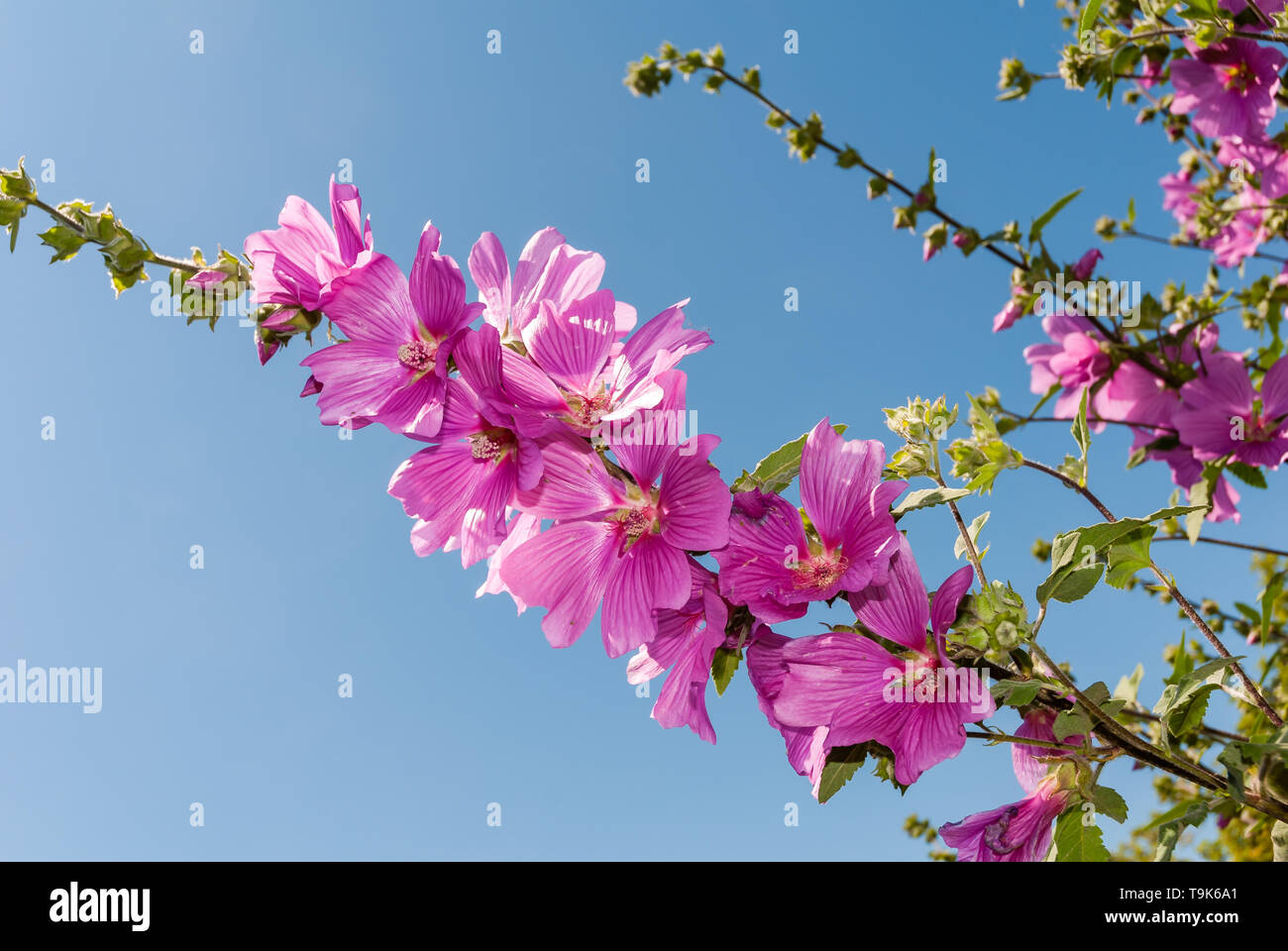 Lavatera Olbia Rosea or Tree Mallow growing in a private UK garden. - Stock Image