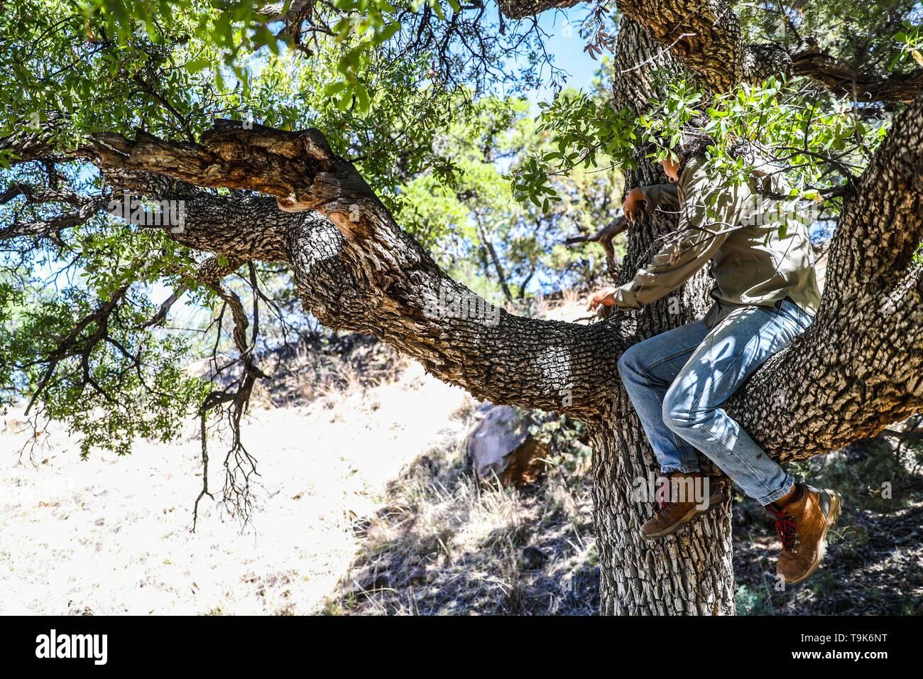Oak tree forest, courtly, wood texture, trunk branches and oak tree leaves, in the Chivato mountain range in the municipality of Santa Cruz, Sonora, Mexico. (photo: Luis Gutierrez / nortephoto)  bosque de arboles encino, cortesa, textura de madera, tronco  ramas y hojas de arbol encino, en la sierra Chivato en el municipio de Santa Cruz,  Sonora, Mexico.   (photo: Luis Gutierrez / nortephoto) - Stock Image