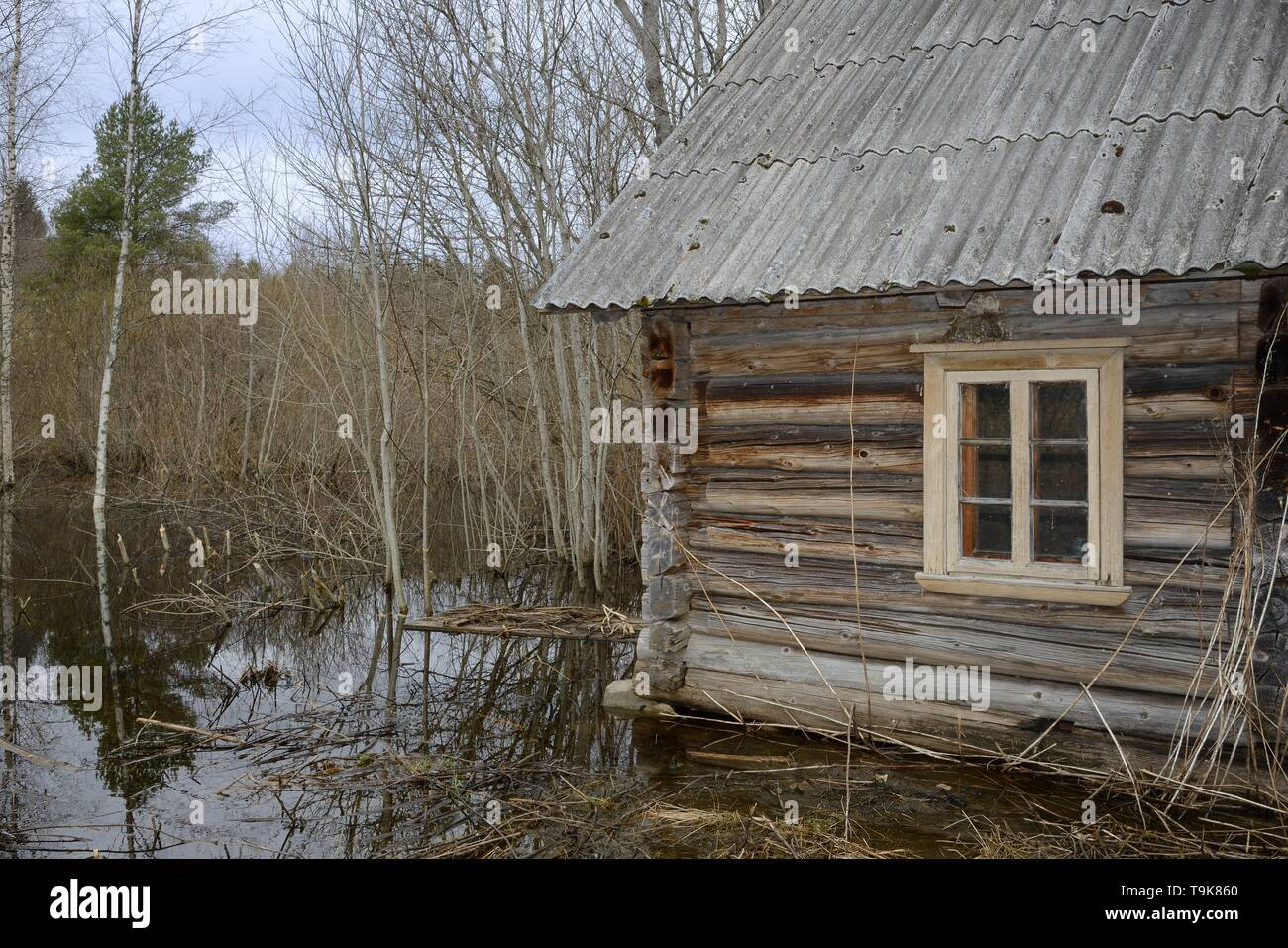 Derelict, abandoned cottage in woodland flooded by Eurasian beavers (Castor fiber) damming a river nearby, with several saplings recently cut by them  - Stock Image