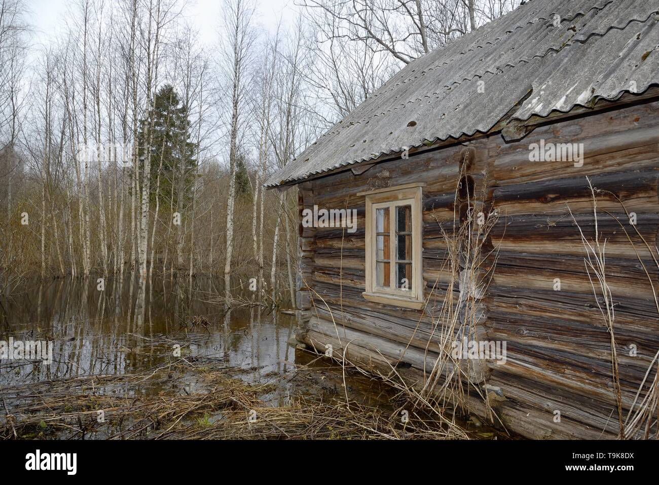 Derelict, abandoned cottage in woodland flooded by Eurasian beavers (Castor fiber) damming a river nearby, with several saplings recently cut by them  Stock Photo