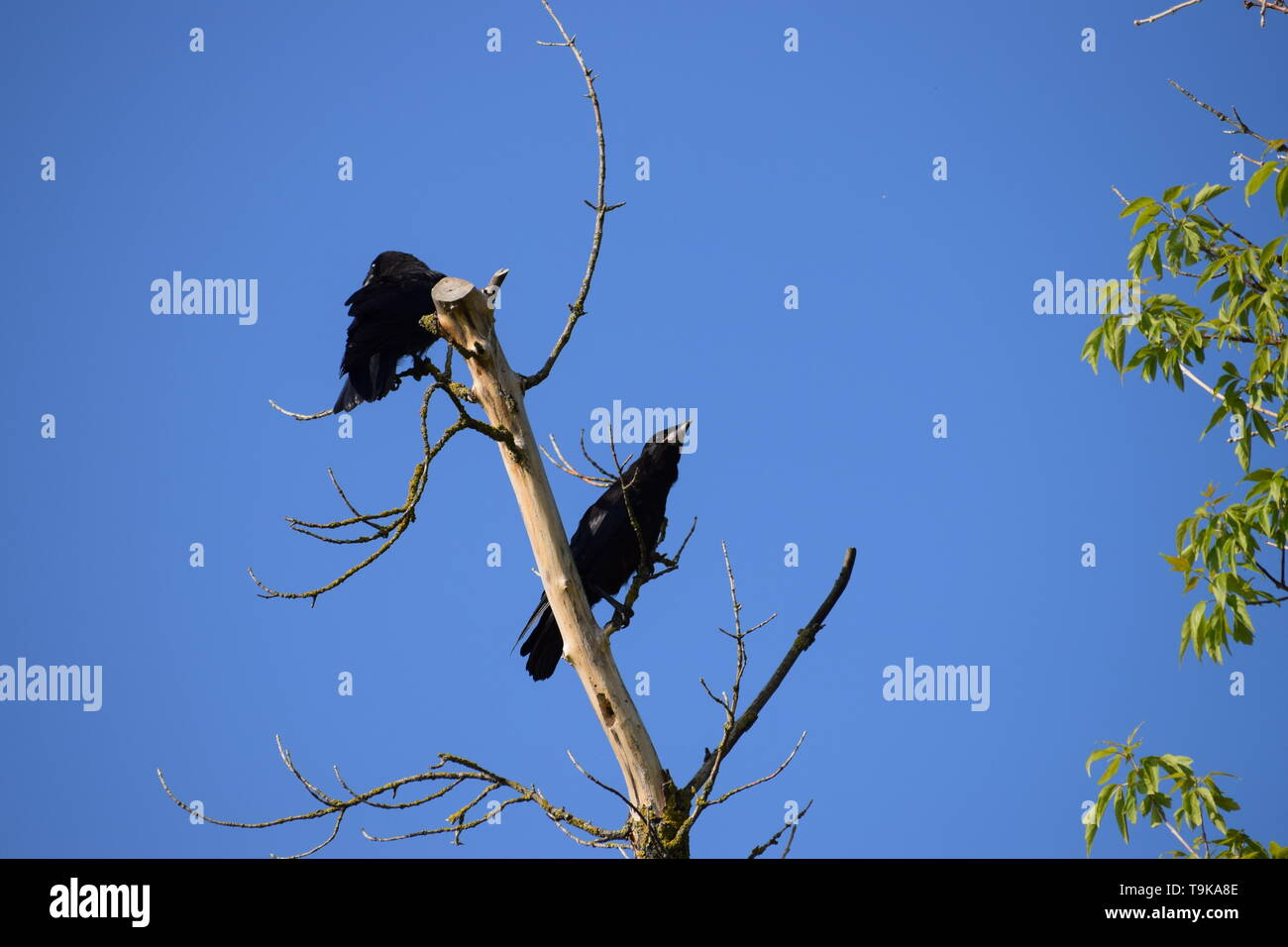 Sowing crows on a dead Branch - Stock Image