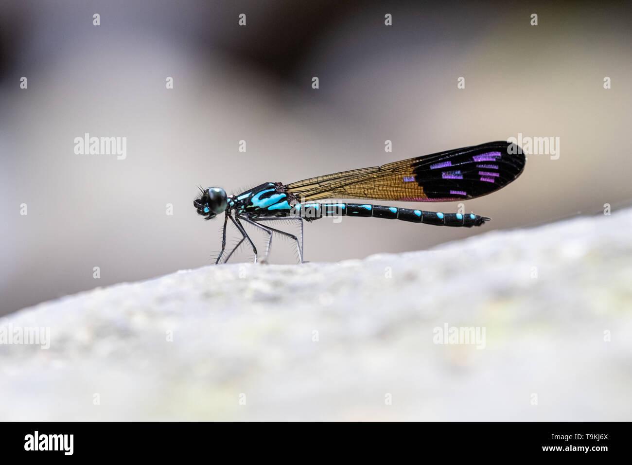 Portrait of damselfly - Common Blue Jewel (Rhinocypha perforata perforata) - Stock Image