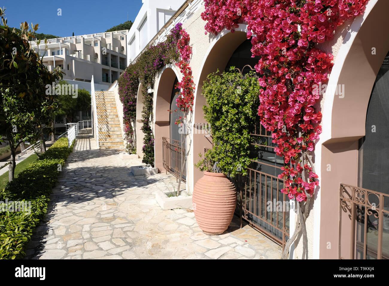 Bushes of thorny ornamental vines, bouganvillea, decorate a wall in Corfu, Greece - Stock Image