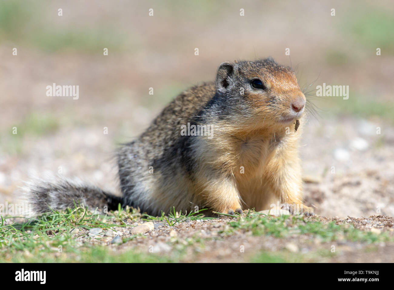 A Columbian Ground Squirrel (Urocitellus columbianus) looks for food near his home in the grass. - Stock Image
