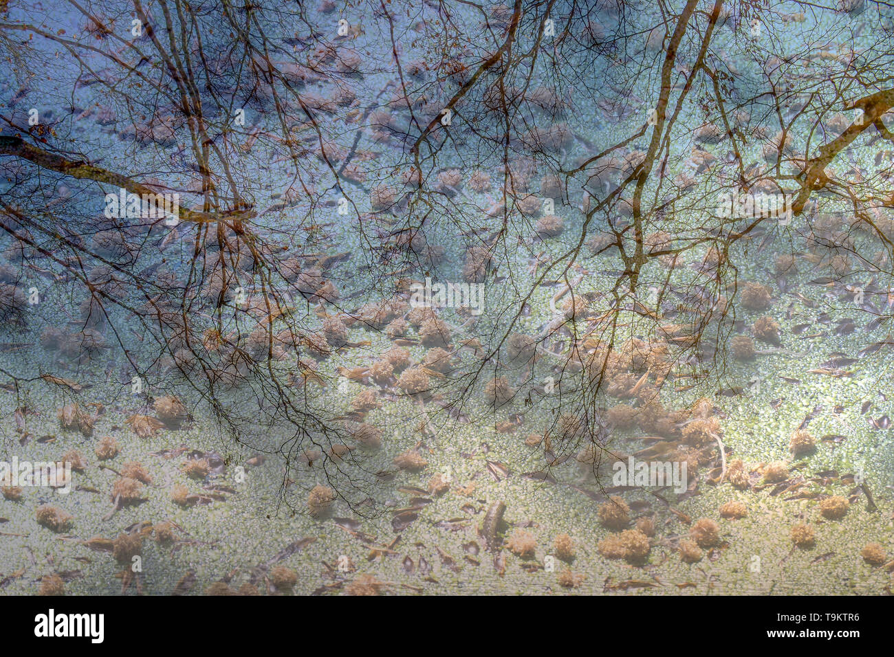 Double exposure image with frozen ice, duck weed and a trees in the sky. - Stock Image
