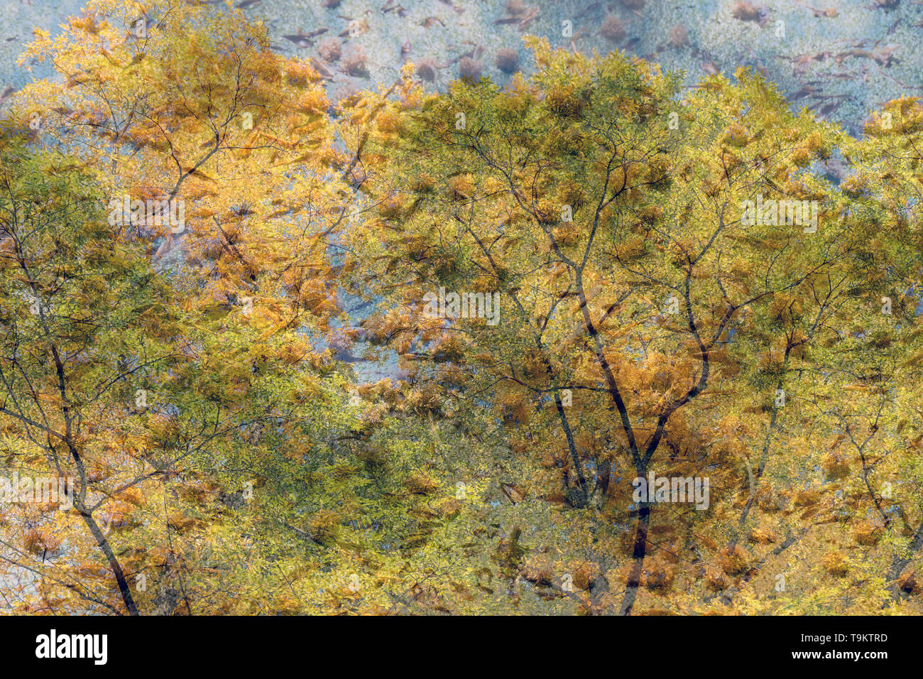 Double exposure image with frozen ice, duck weed and a autumn tree from below. - Stock Image