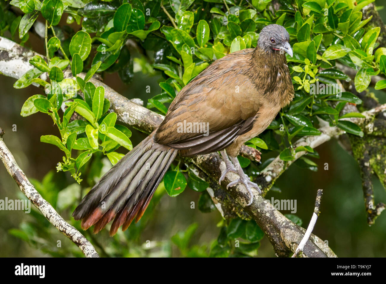 Rufous-vented Chachalaca or Cocrico, Ortalis ruficauda, in the rain. Tobago, Trinidad and Tobago - Stock Image