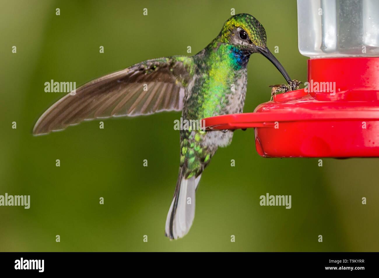 Female, White-necked Jacobin, Hummingbird, Florisuga mellivora, on feeder, Asa Wright Nature Reserve, Trinidad and Tobago, sharing nectar with honey b - Stock Image
