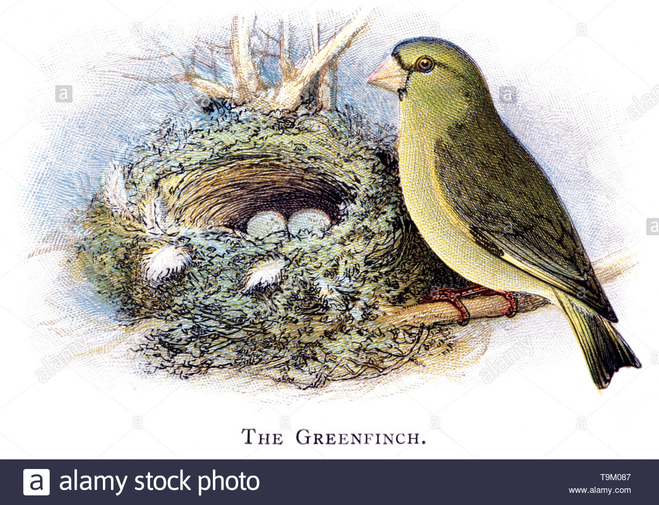 Greenfinch (Carduelis chloris) at nest with eggs, vintage illustration published in 1898 - Stock Image