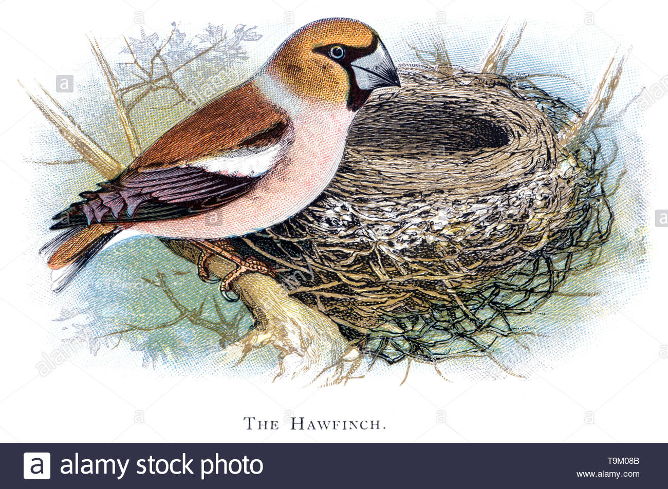 Hawfinch (Coccothraustes coccothraustes) at nest, vintage illustration published in 1898 - Stock Image