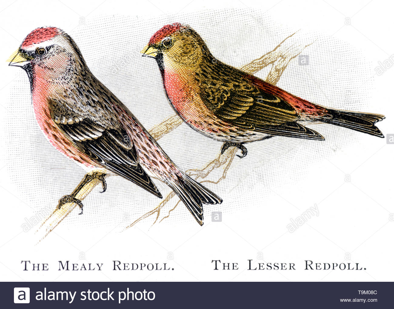 Mealy Redpoll (Carduelis flammea) and Lesser Redpoll (Carduelis cabaret), vintage illustration published in 1898 - Stock Image