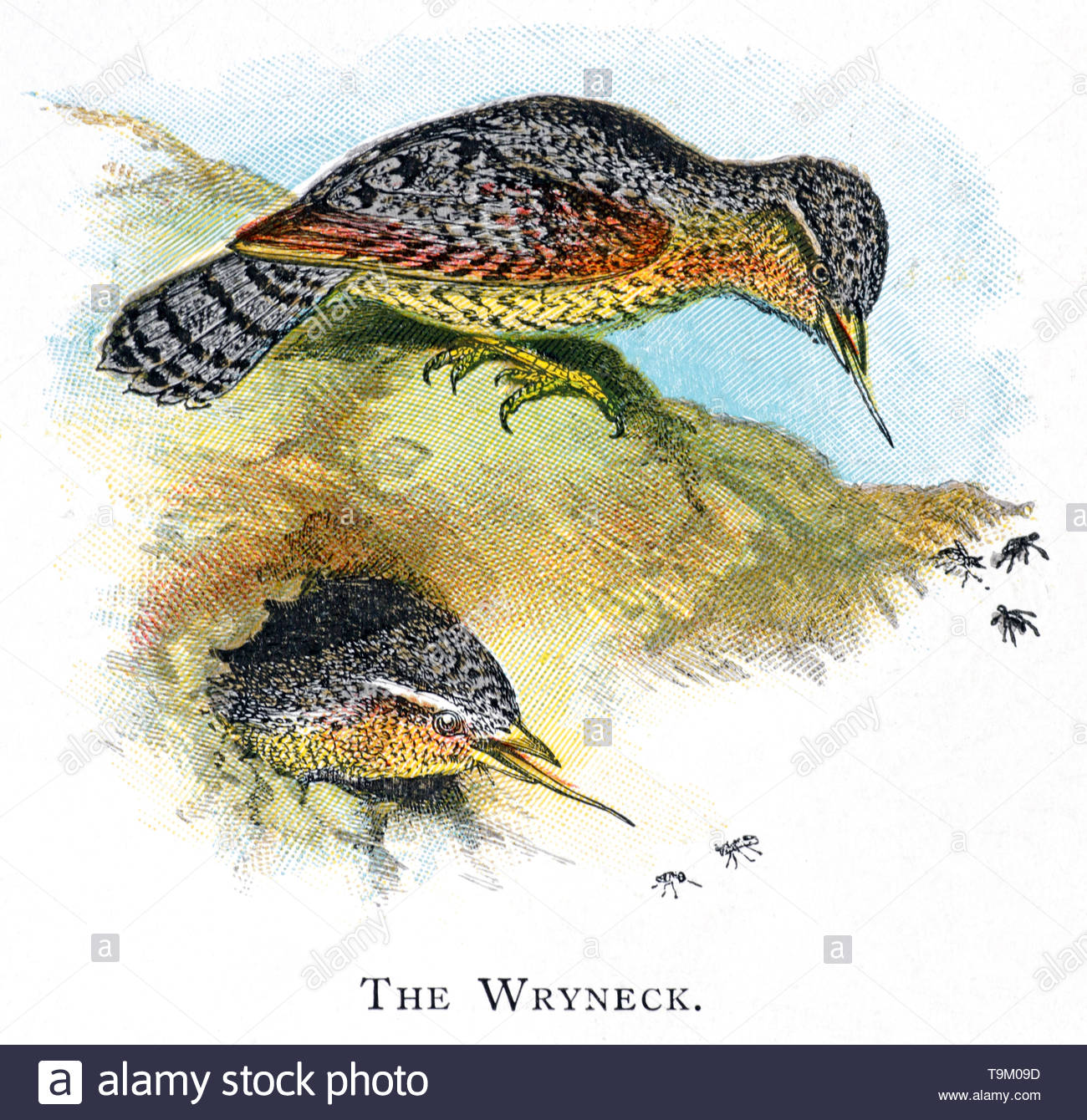 Wryneck (Jynx torquilla) at nest hole, vintage illustration published in 1898 Stock Photo