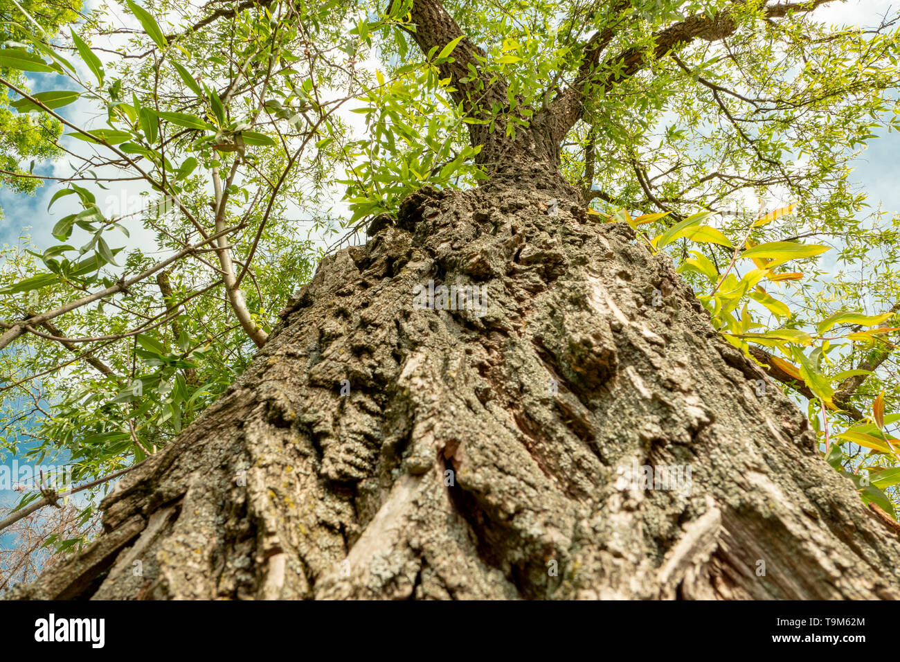 rough bark of a tree from below in spring extreme viewing angle - Stock Image
