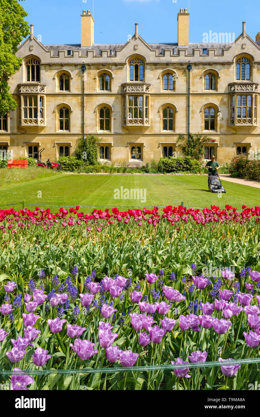 A gardener cuts the grass outside on the grounds of Trinity College, Cambridge - Stock Image