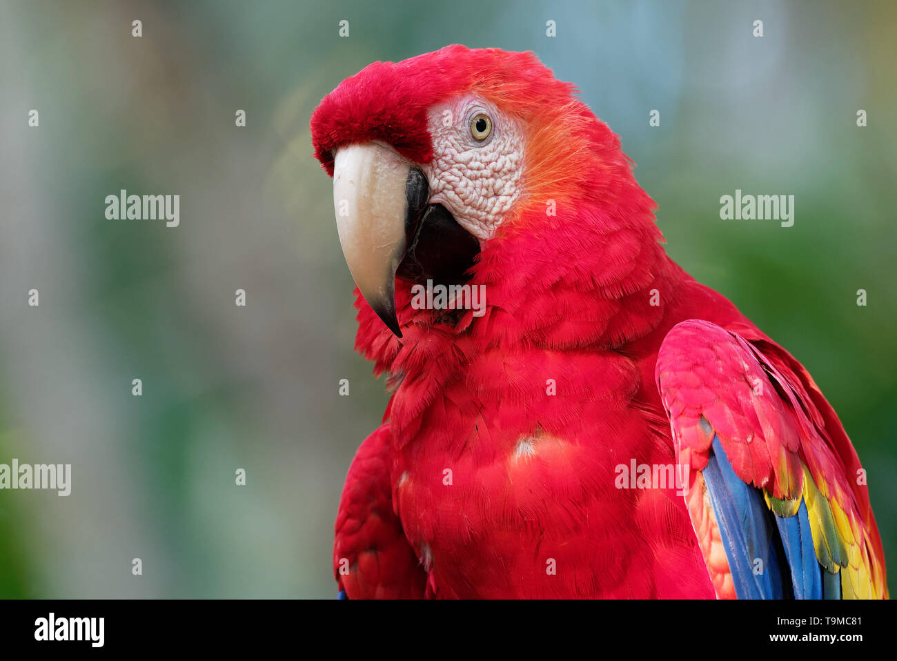 Scarlet Macaw - Ara macao  large red, yellow, and blue Central and South American parrot, native to humid forests of tropical Central and South Americ - Stock Image