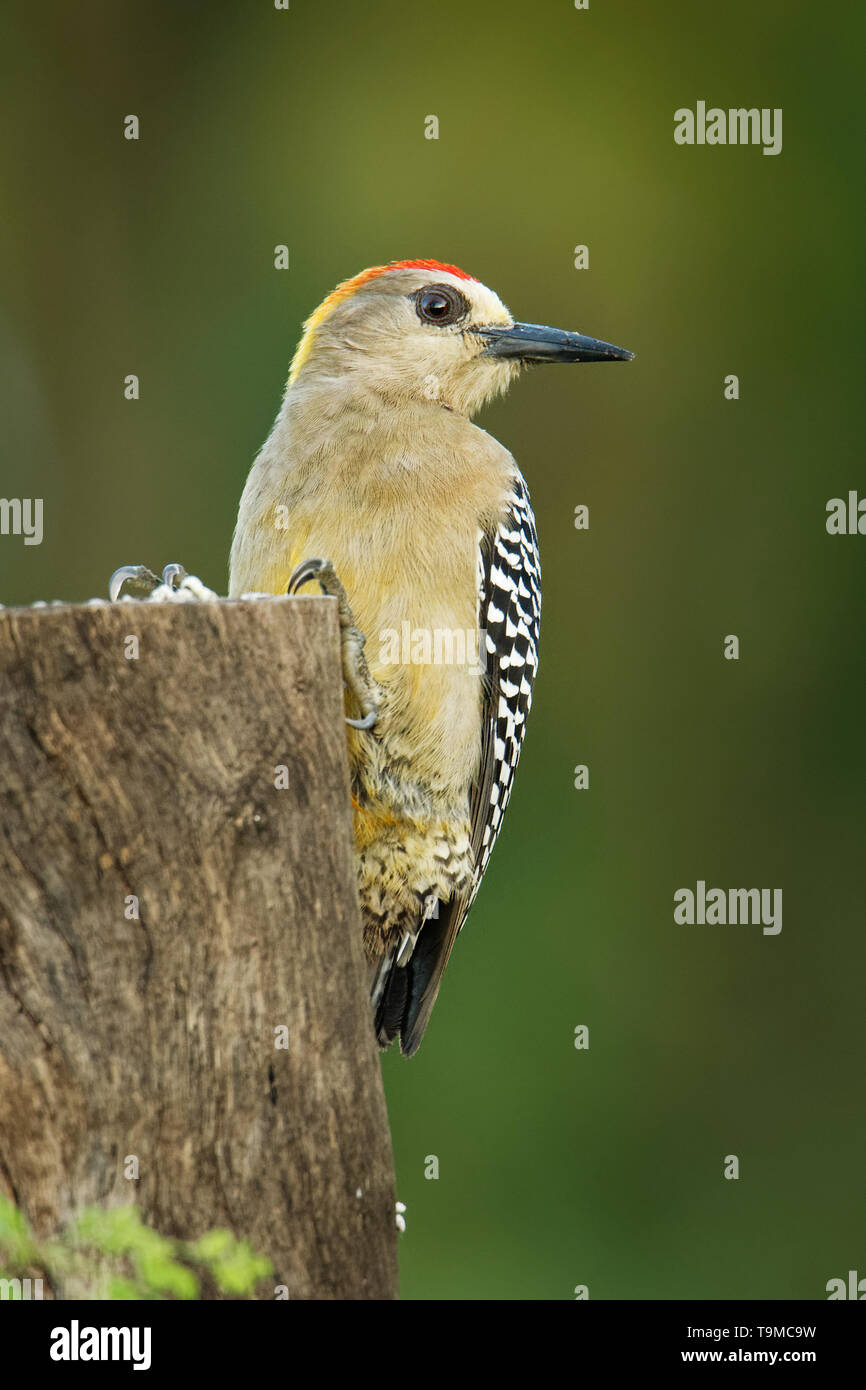 Hoffmanns Woodpecker - Melanerpes hoffmannii resident breeding bird from southern Honduras south to Costa Rica. It is a common species on the Pacific  - Stock Image