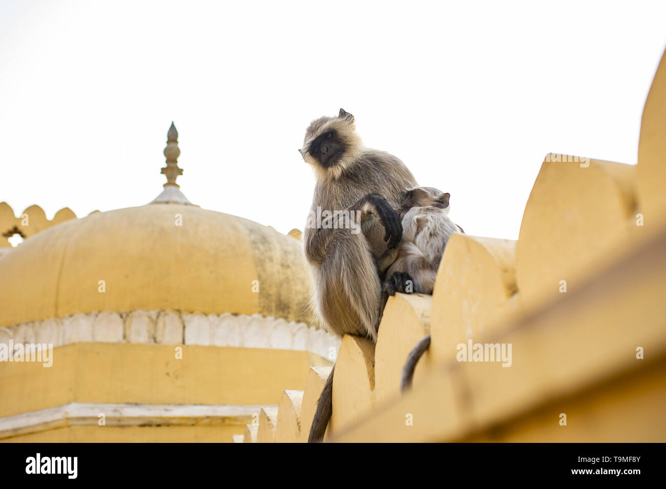 A gray langur monkey is nursing her son sitting on a temple in Jaipur. Gray Langurs are a group of Old World monkeys native to the Indian subcontinent - Stock Image