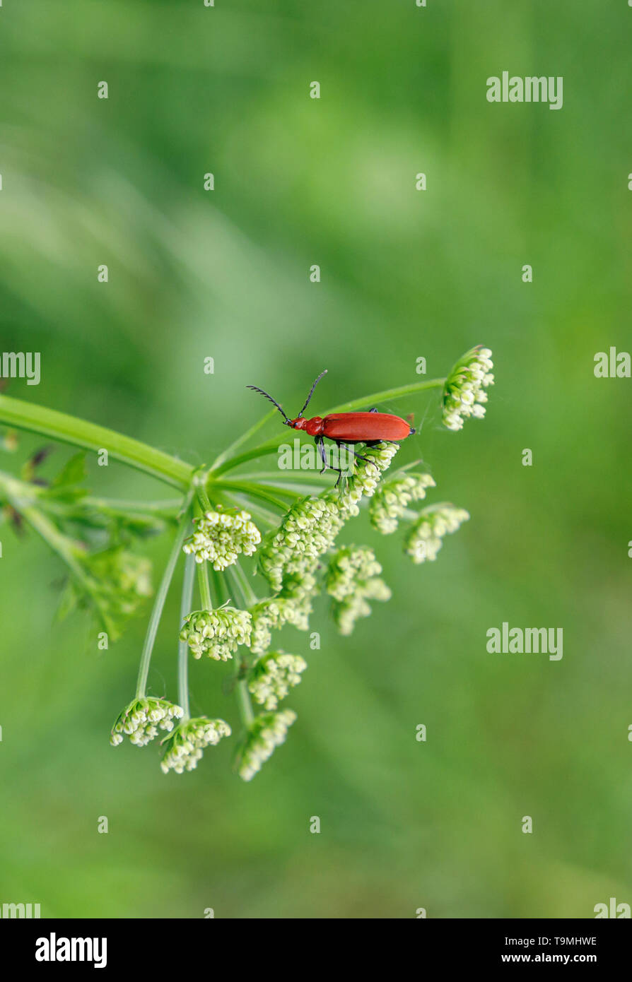 A Cardinal Beetle (Pyrochroa serraticornis), a common small British bug, on cow parsley in Test Valley, Southampton Hampshire, southern England, UK - Stock Image