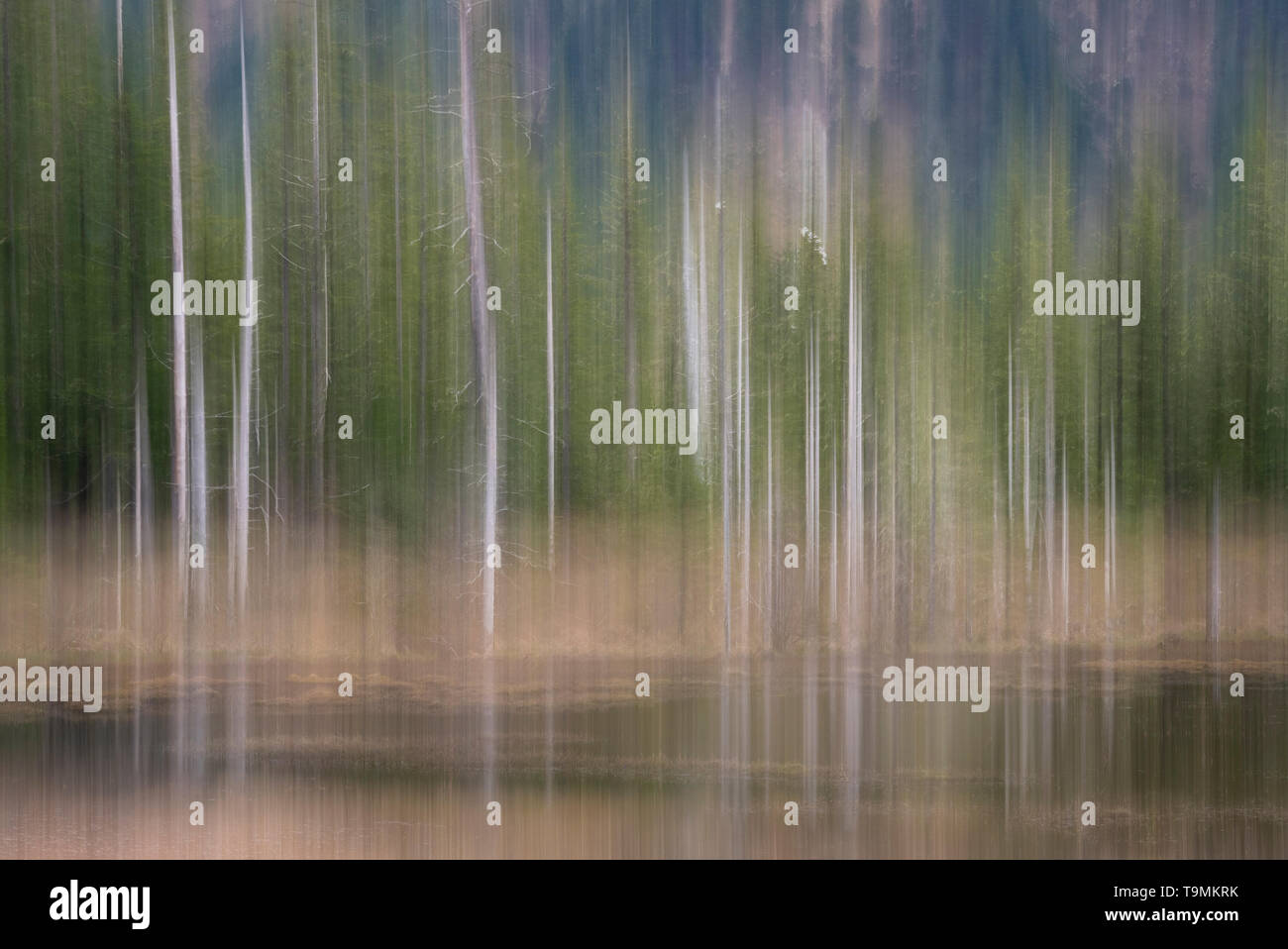 In-camera motion blur of spruce trees along marsh in Copper River Delta in Southcentral Alaska. - Stock Image
