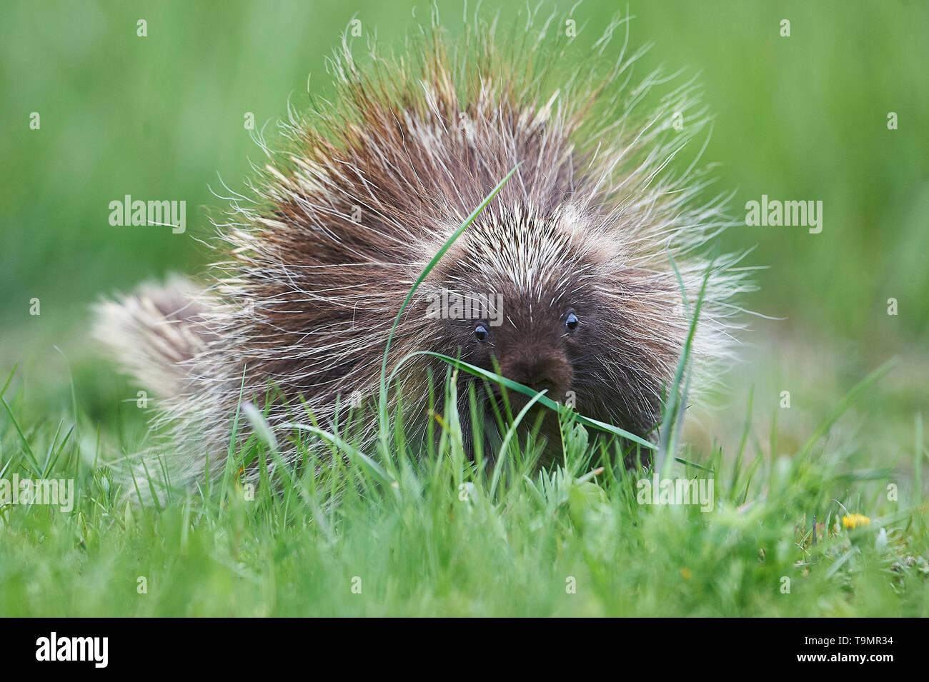 A young North America porcupine, (Erethizon dorsatum), Upper Clements, Annapolis Royal, Nova Scotia, Canada Stock Photo