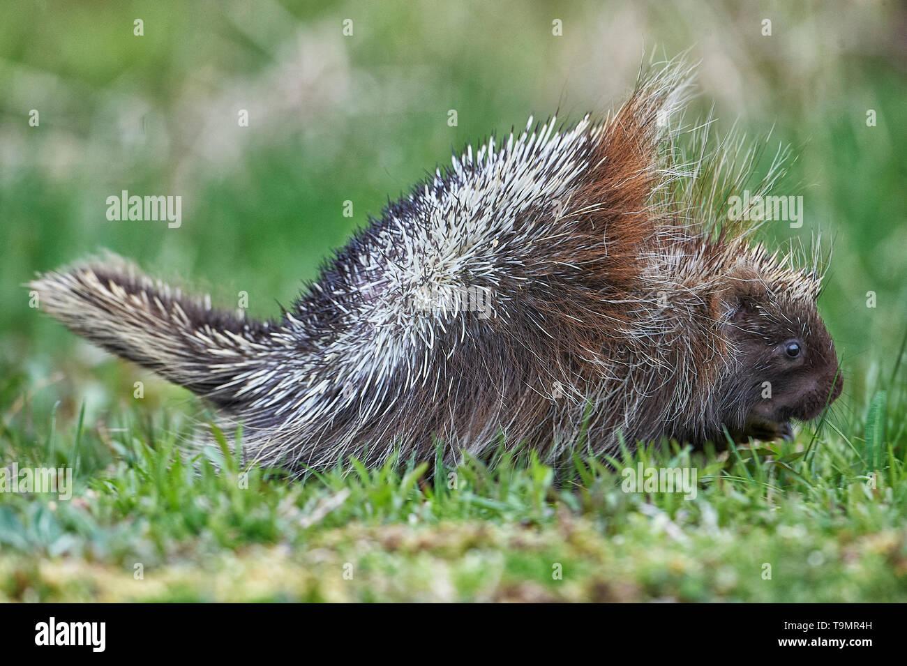 A young porcupine, (Erethizon dorsatum), Upper Clements, Annapolis Royal, Nova Scotia, Canada Stock Photo