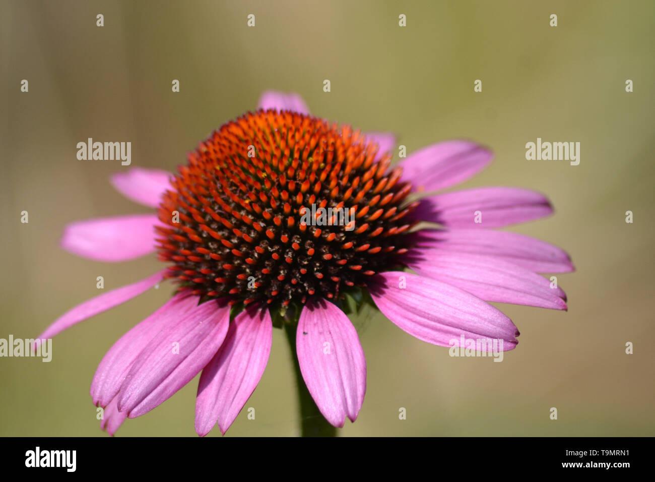 Echinacea purpurea {Purple coneflower} {Roter Sonnenhut} {Purpur-Sonnenhut} {Rudbeckia purpurea} - Stock Image