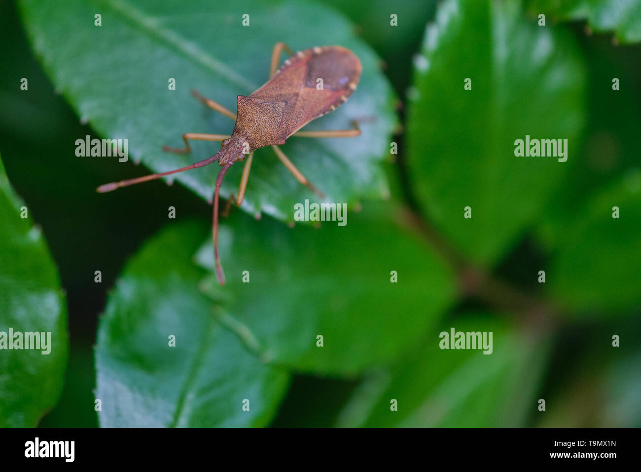 Western conifer seed bug insect, Leptoglossus occidentalis, or WCSB on a green leaf - Stock Image