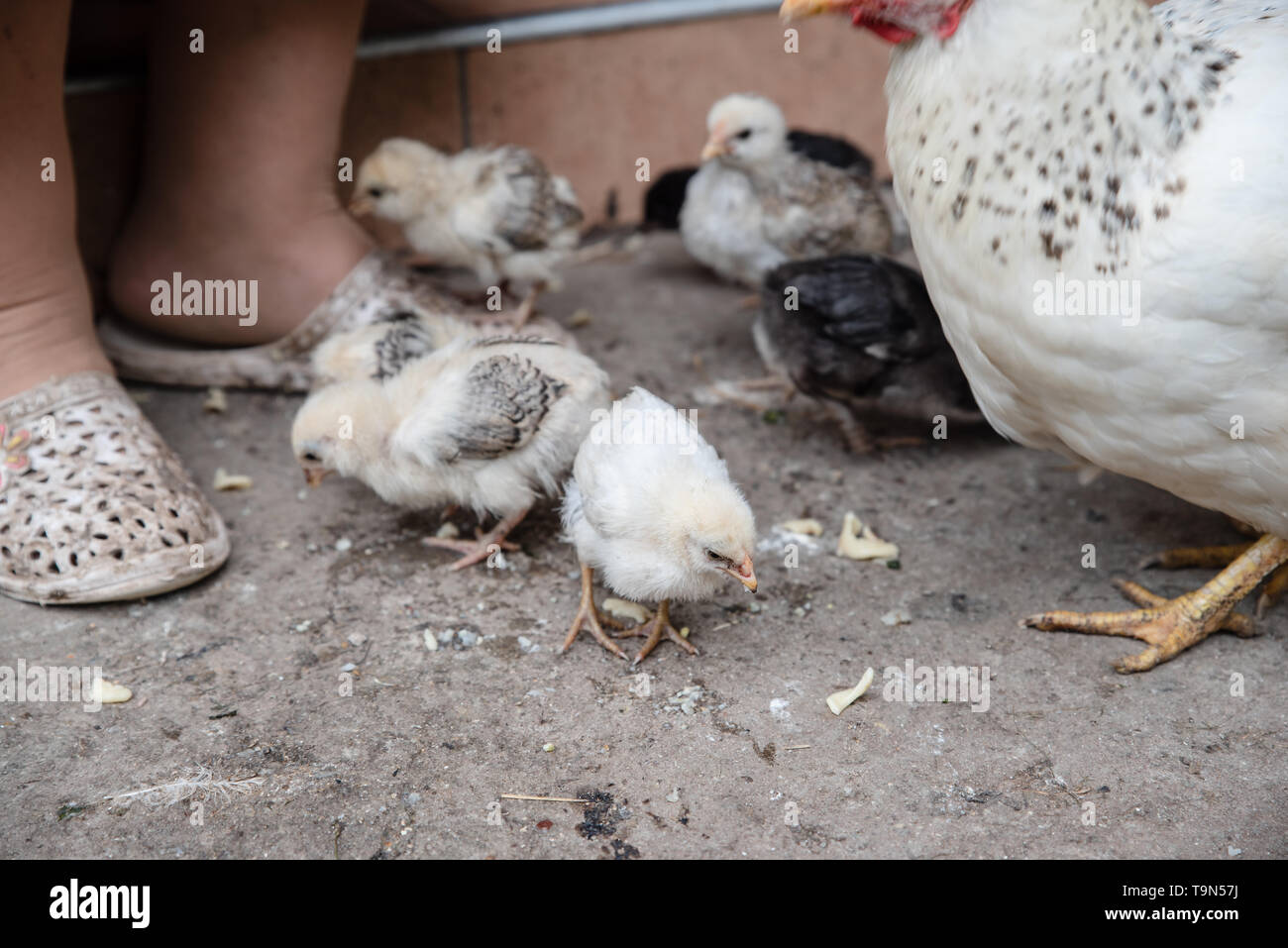 Little chickens eat feed in the yard. Poultry. Ukraine - Stock Image