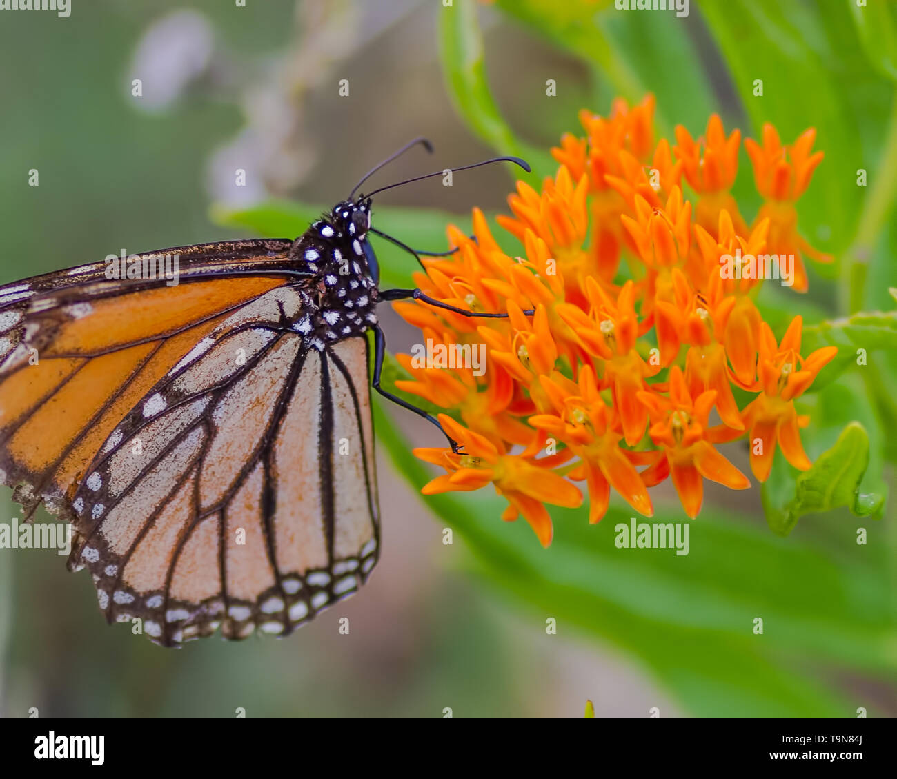 A Monarch butterfly on beautiful orange wildflowers in the Crex Meadows Wildlife Area in Northern Wisconsin - Stock Image