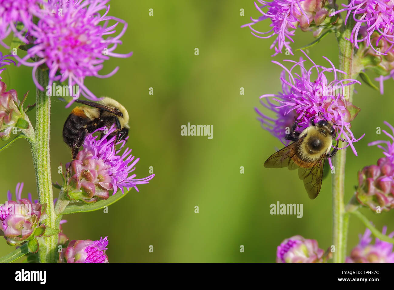 Furry cute bumble bees feeding and pollinating on what I believe is a purple rough blazing star flower - smooth green background - in Crex Meadows Wil - Stock Image