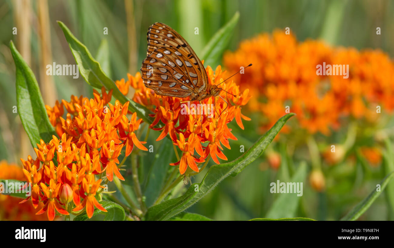 Fritillary butterfly species on butterfly milkweed flowers in grasslands of the Crex Meadows Wildlife Area Northern Wisconsin - Stock Image