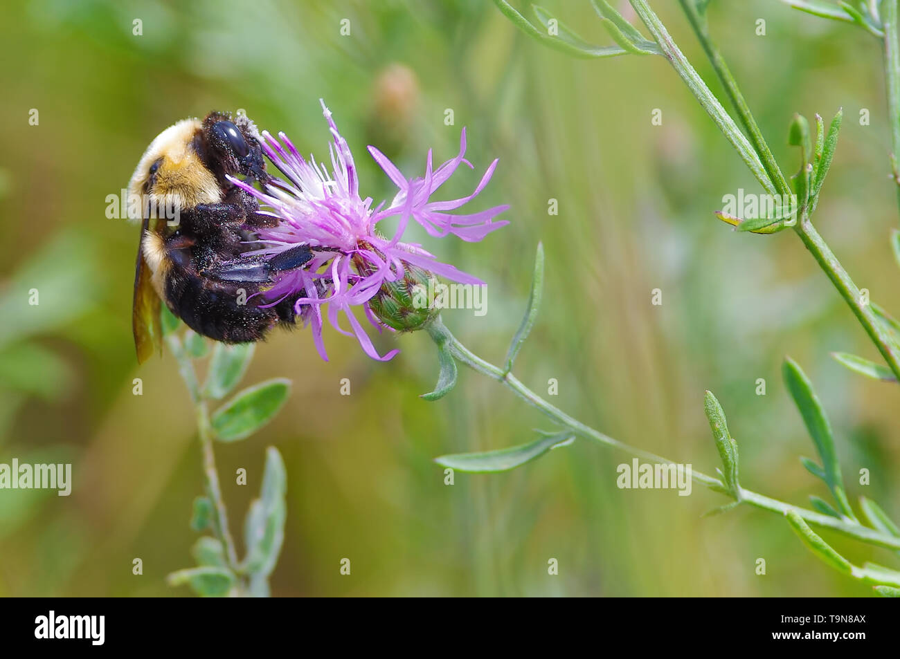 Bumble bee species feeding / pollinating on a purple wildflower in the Crex Meadows Wildlife Area in Northern Wisconsin - Stock Image