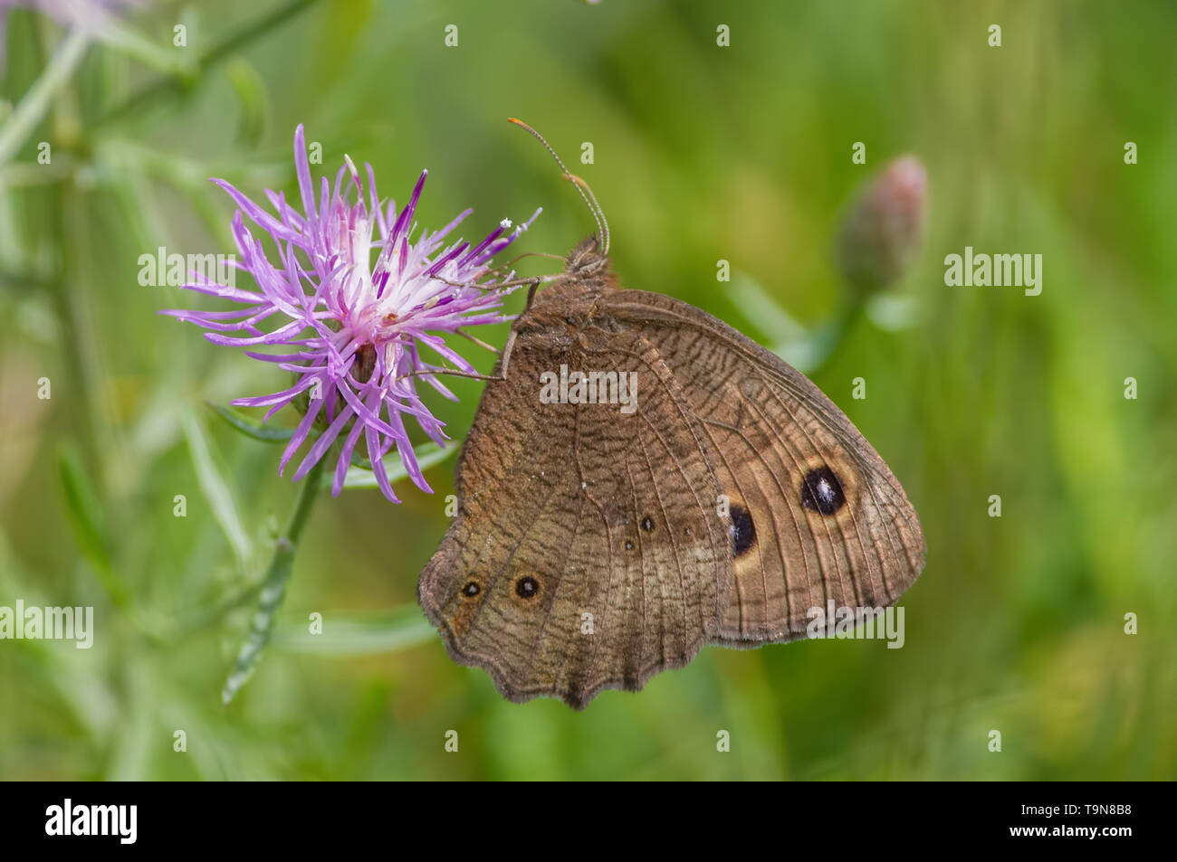 Common wood-nymph butterfly on purple wildflower in the grasslands of the Crex Meadows Wildlife Area in Northern Wisconsin - Stock Image