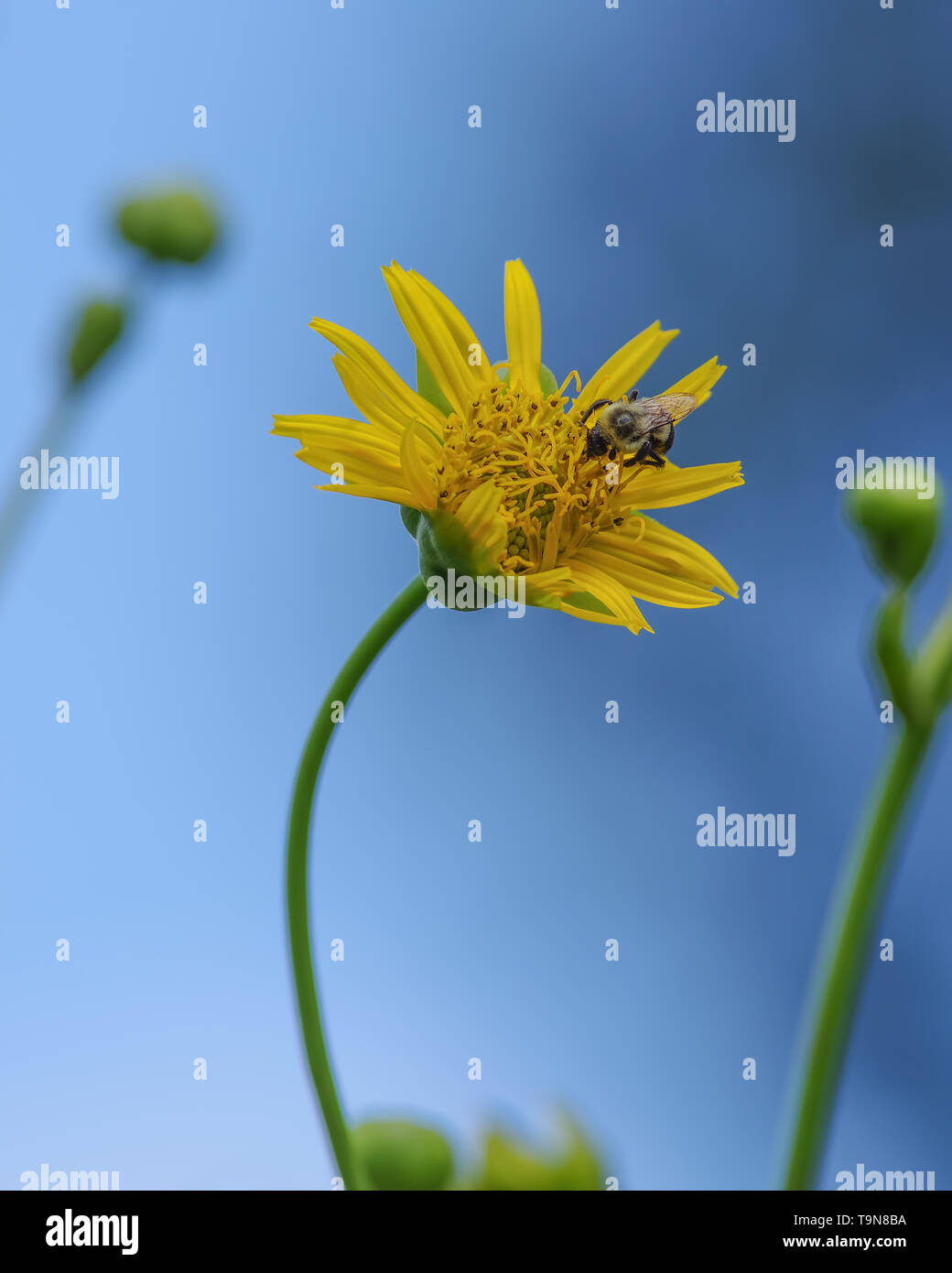 Bee feeding and pollinating on beautiful sun flower with a bent stem with vivid blue skies in background - perspective looking up towards sky - in the - Stock Image