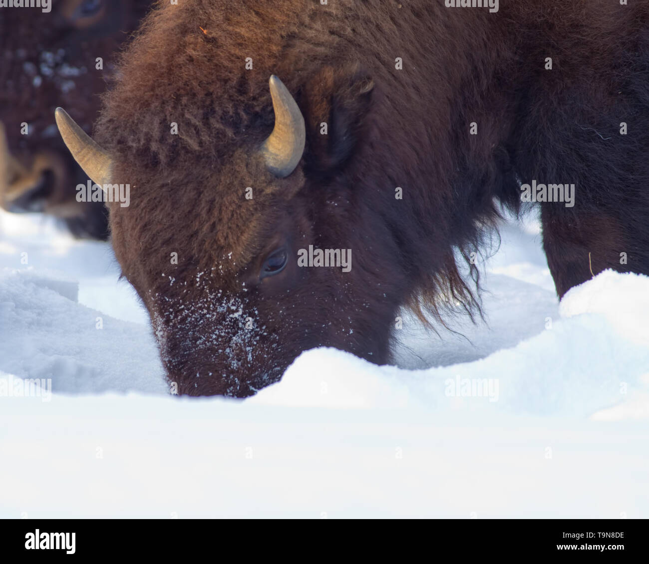 Buffalo at Yellowstone National Park in the winter time - Mammoth - Stock Image